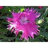 30+エゾカワラナデシコローズカーネーションの花の種子/多年生/グレートギフト