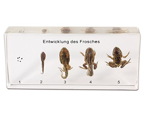 Der Lebenszyklus des Frosches, Entwicklungsstadien in transparentem Kunstglasblock, Biologie, Schulunterricht, ab 6 Jahren