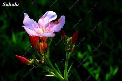 150 Pcs Nerium Graines Oleander plantes en pot semencier japonais Jardin Décoration Bloom Graine Facile à cultiver purifient l'air 12