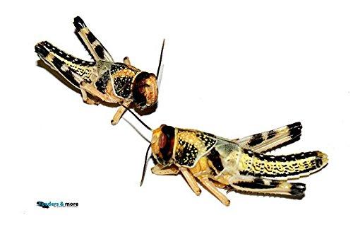 25 subadulte Wüstenheuschrecken als Reptilienfutter