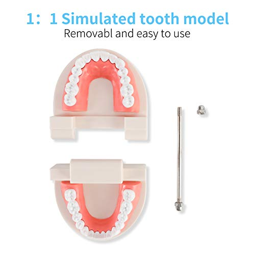 Dental Adult Standard Teeth Model, Typodont Demonstration Denture Model|Mouth Teeth Model Dental Supplies for Kids, Dentist Students, Patient, Teaching, Studying, Displaying, Educating