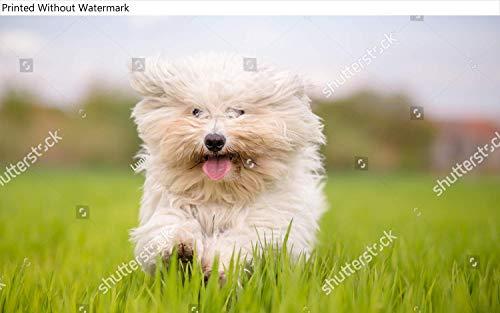 KwikMedia Poster of Cute White Dog Runs Toward Camera