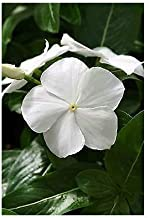 Seeds Vinca Mediterranean White Get 1000 Fresh Seeds Easy Grow AB008