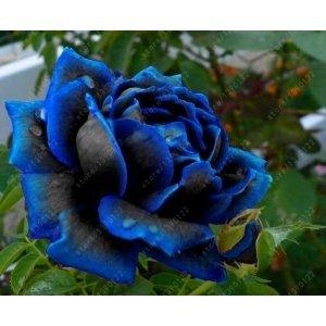 200pcs / sac rare graines rose multi-couleur rose graines de fleurs bonsaï graines bonsaïs noir rose plante rare balcon pour le jardin à la maison 17 mis en pot