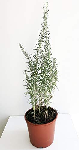 Lycium barbarum Bacche di Goji Pianta vaso 14 (15 Mesi, Bacche nere)
