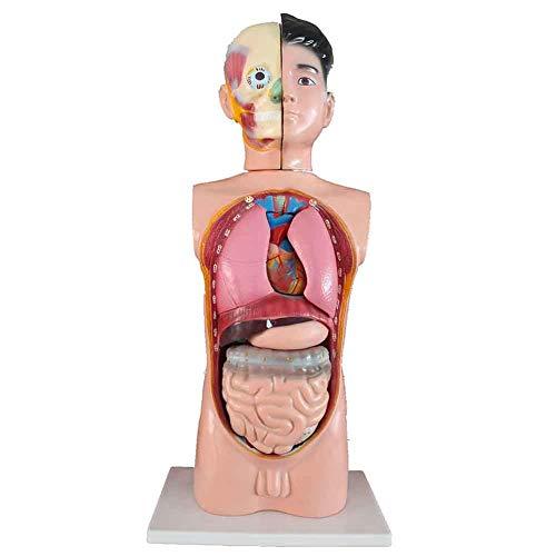 3D-Modell des menschlichen Körpers mit abnehmbaren menschlichen Organen - 65CM, Deluxe Dual-Sex Human Torso Model, für Anatomie- und Physiologiestudenten Lernwerkzeuge, für Schulpräsentationswerkzeu