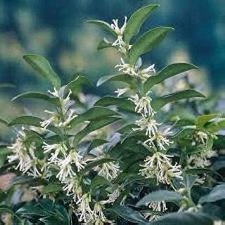fragrant sweet box shrub