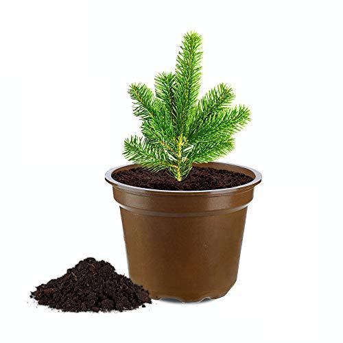SEEBAUER diy® Anzuchtset | Mit HANFI-Topf und Pflanzerde | Kreative Geschenkidee | (Nordmantanne Baum-Anzuchtset)