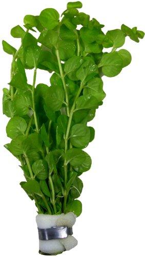Lysimachia nummularia Pfennigkraut, Aquarien- Teich-pflanze
