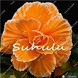 Vistaric 100 Unids Bonsai Begonia Semillas Hybrida Voss Linternas Flores Begonia Malus Spectabilis Chino Decorativo Bonsai Jardín Flores 13
