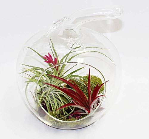 Apple glass terrarium hanging planter