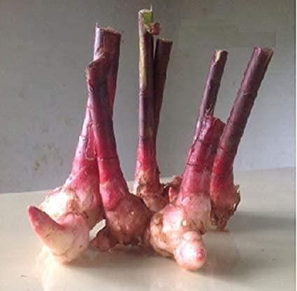 Malowal Insulina Plantas para Diabetes| Insulina A Plant Rhizomes – Paquete de 2 (Insulin Plant Rhizomes – Paquete de 2)