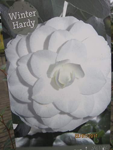 Camellia japonica White Petit - Japanische Kamelie White Petit