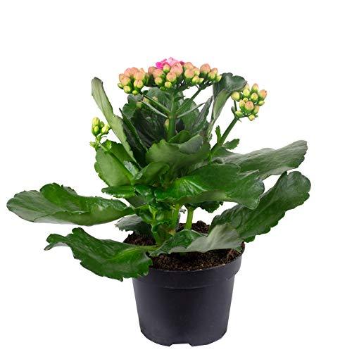 Kalanchoe blossfeldiana - Figura decorativa (20 cm de altura, 10,5 cm de diámetro), color rosa