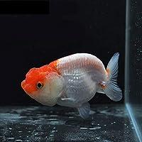 【金魚王子】更紗バッファローヘッドらんちゅう (8センチ前後) 個体番号:dfg182 金魚 きんぎょ 生体 らんちゅう 厳選個体