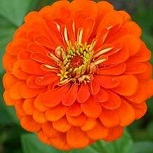 Orange Zinnia Seeds, Orange King, Heirloom Zinnia Seeds, Bulk Flower Seeds 400ct
