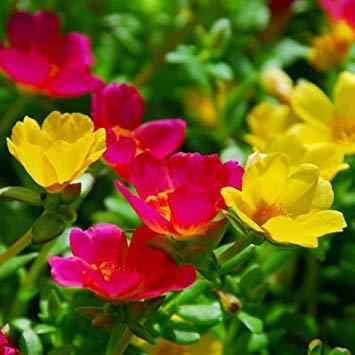 BloomGreen Co. Blumensamen: Schizanthus Angel Wings Mix Samen Für Terrasse Garten Töpfe Pflanzen Garten [Home Garten Samen Eco-Paket] Pflanzensamen