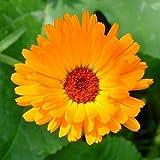 。花の種子:梅雨ドライブウェイパスガーデン[ホームガーデンの種子エコパック]のための庭のマリーゴールド黄色の花の種子植物の種子