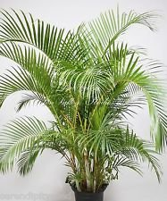 Chrysalidocarpus lutescens Areca Palm Premium-Samen Bright Green Leaves