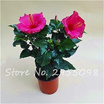 Fash Lady Zimmer Zierpflanze Mini Bonsai Hibiscus Samen, seltene Topfblumensamen, mehrjährige Blumen Garten Gewächshaus Pflanze 100 Stück 7