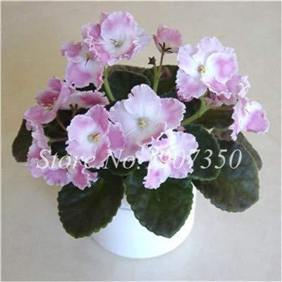 Generic Fresh 50 Stk. Abends duftende Hausgarten-Blumensamen zum Pflanzen von Hellrosa