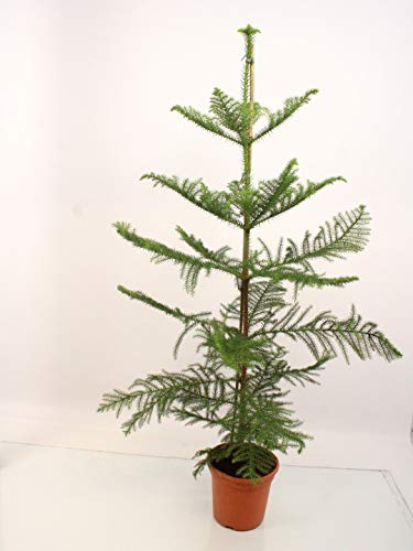 Zimmerpflanze von Botanicly – Affenbaum – Höhe: 110 cm – Araucaria Heterophylla