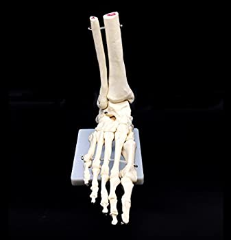Human Foot Skeleton Model on Base Foot Bone,Life Size for Science Classroom Study Display Teaching Medical