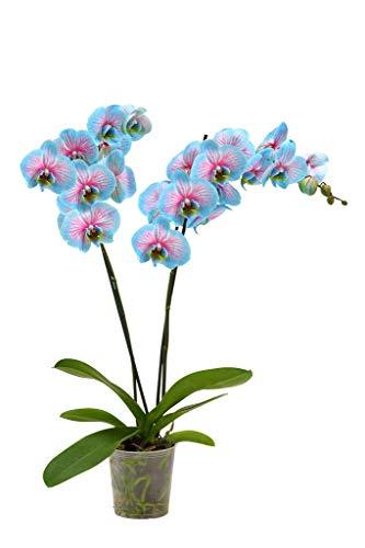 Qulista Samenhaus - Rarität 100pcs Schmetterlings- Orchidee Sortenmix Zimmerpflanzen Blumensamen winterhart mehrjärhig für Fensterbank