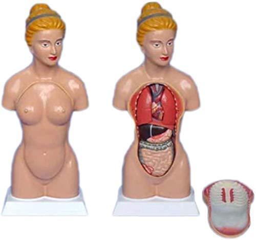 LBYLYH Modell der menschlichen Anatomie Torso Weiblicher Modelle mit inneren Organen der Büste, 45cm, Academic Medical Ausbildungsförderung