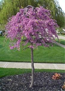 (7 Gallon Bare Root) Weeping Redbud - Absolutely Striking, Unique Weeping and Twisting Branches Cascading Toward The Ground. Plant Shipped is Around 4-6 ft Tall