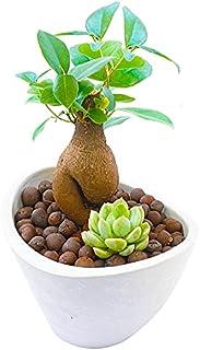 ガジュマルの木と多肉植物 がじゅまる 人参がじゅまる 観葉植物ミニ 観葉植物おしゃれ 室内用 多幸の木 誕生日用 花言葉 健康 ホワイト カルチャーボール