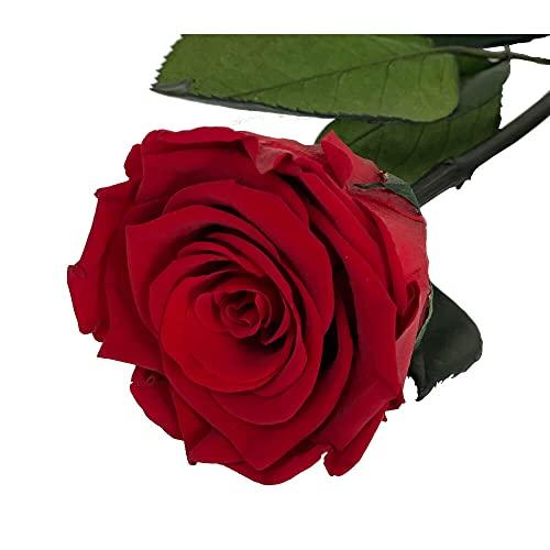 Mundo Eterno Rosa Eterna Preservada 35cm Roja