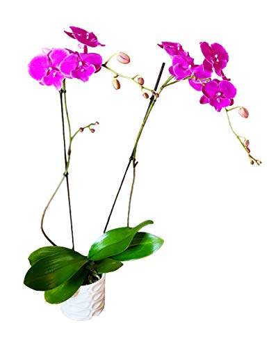Color Orchids Live Single Stem Charcoal Ceramic Pot 20-24 Pink Blooms Orchid Plant
