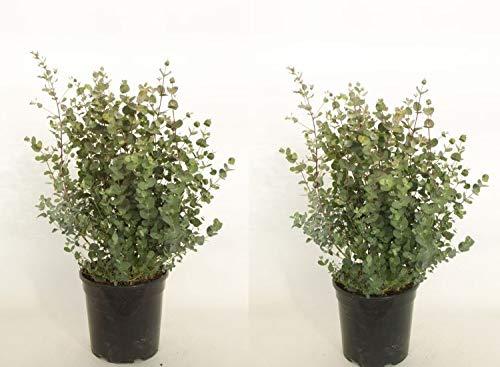 Eucalyphtus 1 Stück Gunni Busch T17 Eukalyhtusbaum, Pflanzen 50-60 cm hoch winterhart