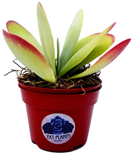 Fat Plants San Diego Succulent Plant(s) Fully Rooted in 4 inch Planter Pots with Soil - Real Live...