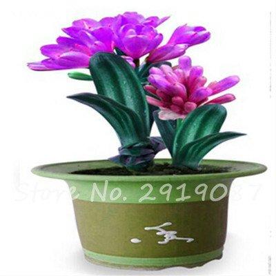 Exotiques Clivia Graines de plantes en pot Diy, intérieur Pot Seed Couleurs multiples Pour Choisir Bonsai Usine Maison et jardin Décor 100 pièces 4