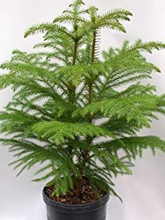 EaglesFord Air Purifying Christmas Tree Araucaria Heterophylla Live Plant with Pot