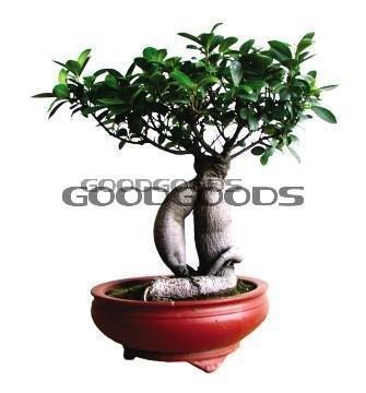 La livraison est gratuite à croissance rapide Banyan Tree - Strangler Fig - Graines frais de port gratuits