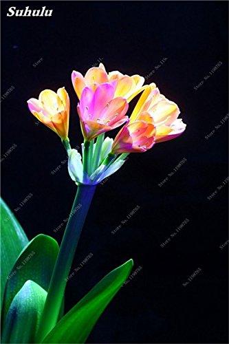 Bonsai Clivia Samen, seltene Regenbogen Clivia Blumen, Topfpflanzen Dedicated Windowsill Perennial Blumen für Garten Dekor 100 PC 5
