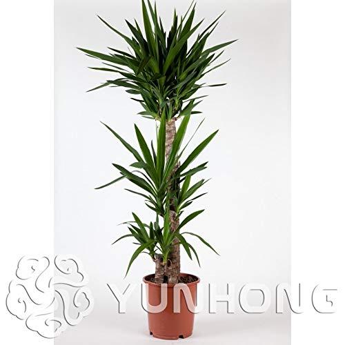Semillas de yuca de árbol de bonsai, plantas en macetas de bricolaje, tasa de germinación de semillas en macetas de interior/exterior de 95{74c0ee79370a0dfd99f62934e620f97ba22d62d0ea3e82f6d698f5a660dc7137} de colores mezclados 50 piezas de jardín de su casa