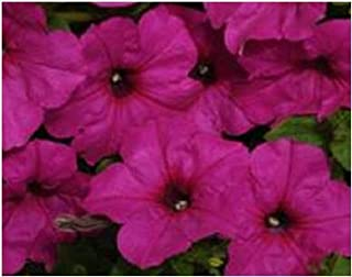Hazzard's Seeds Petunia-Spreading Easy Wave Neon Rose 1,000 seeds