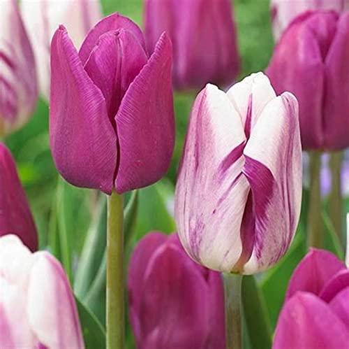 Tulipanes bulbos regalo de liberación de vitalidad de especies raras para el jardinero principiante patio interior flores decorativas interiores y exteriores-4 bulbos,A