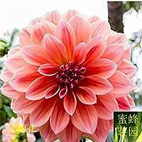 9:温かみのあるバルコニースモールミニダリ20種子(Da Li Hua)9