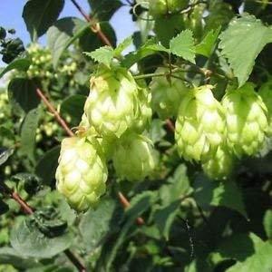 Bier-Hops Bush Seeds (Humulus lupulus) 200 + Seeds