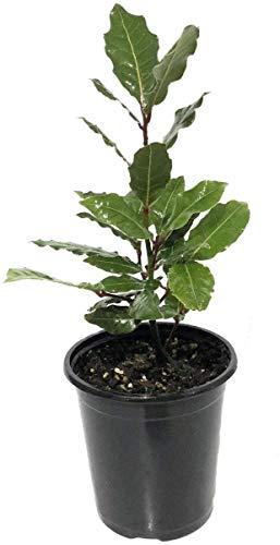 Laurus nobilis - 'Bay Leaf Tree' - Bay...