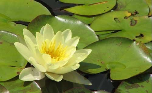 eine gelbblühende Zwergseerose für den Teich, Teichpflanzen, Wasserpflanzen