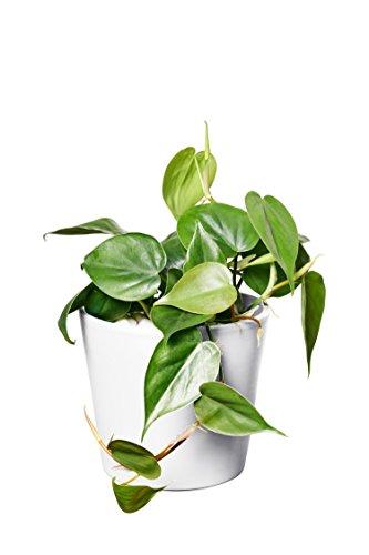 EVRGREEN   Zimmerpflanze Baumfreund in Hydrokultur mit weißem Topf als Set   Philodendron scandens