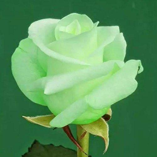 150PCS Rose Flower Seed Hollande Rose Graines amant cadeau arc-RARE 25 exotiques couleurs au choix de bricolage pour les plantes de jardin à la maison 21