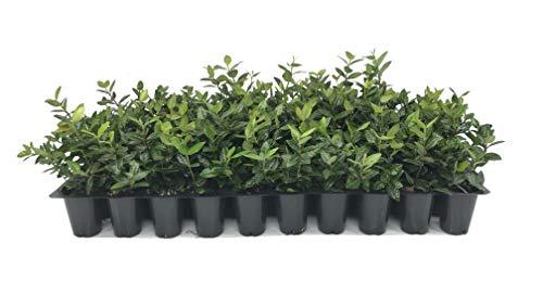 Asiatic Jasmine Minima - 50 Live Plants - Trachelospermum Asiaticum - Drought Tolerant Cold Hardy Evergreen Ground Cover