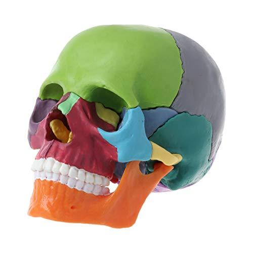 RROVE Modelo de cráneo Humano 4D Modelo anatómico de cráneo en Color desmontado, Herramienta de enseñanza médica Desmontable 15 Piezas/Juego